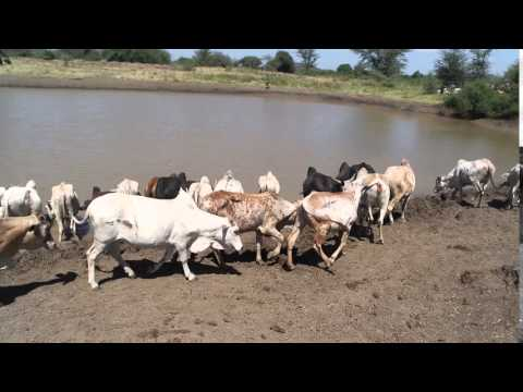 Cows drink water in Rupa, Moroto January 2016