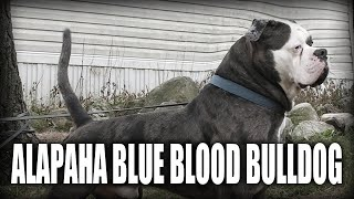 THE ALAPAHA BLUE BLOOD BULLDOG  A QUICK LOOK AT THE HISTORY AND BREED STANDARD