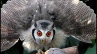 アフリカオオコノハズク ポポちゃん