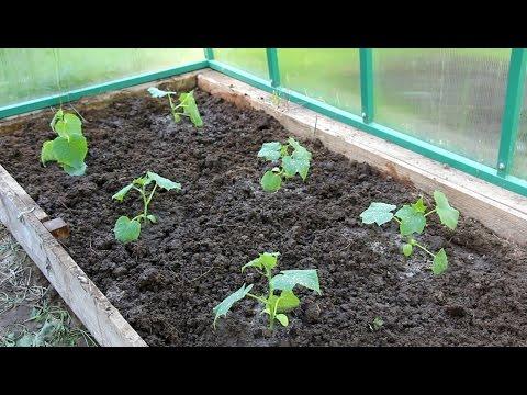 Посев семян и посадка рассады огурца в теплицу