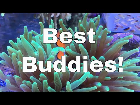 Clownfish And Anemone Symbiotic Relationship
