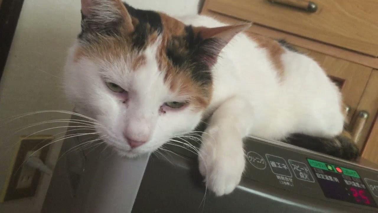 かわいい三毛猫ミケちゃんを撫でる動画!