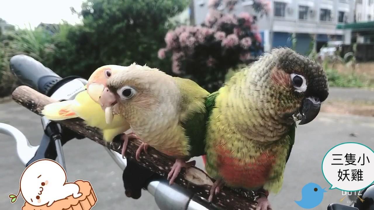 三隻小妖雞 小太陽鸚鵡 - YouTube
