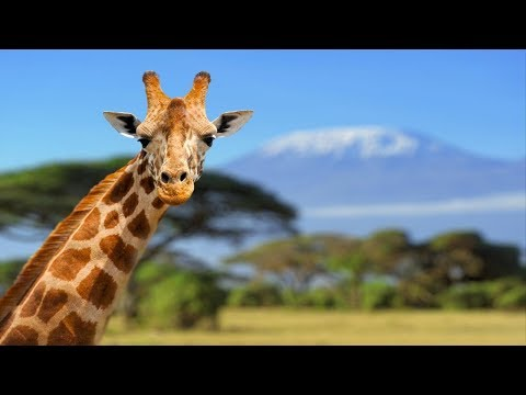 Giraffe [genus of African even-toed ungulate mammals]