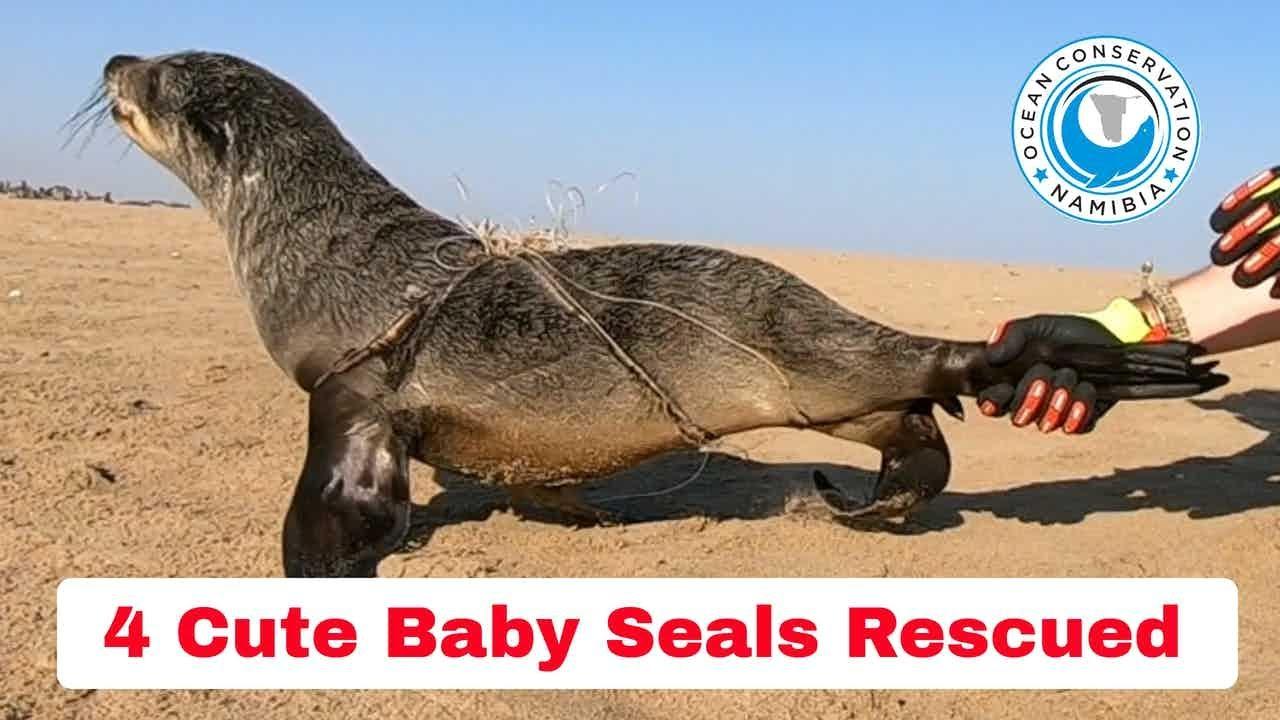 Seal Rescuer Walks Through a Day on Patrol (4 seals saved)