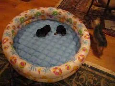 yorkie puppies at 7 weeks 3 youtube. Black Bedroom Furniture Sets. Home Design Ideas