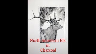 Drawing a North American Elk in Charcoal