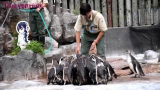 フンボルトペンギン エサの時間 - 東武動物公園 Humboldt penguin