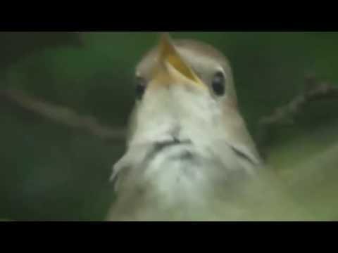 Nightingale singing