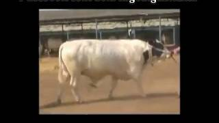 Shah Cattle Farm Bull Bodyguard 2011