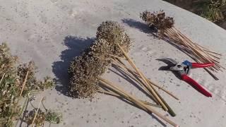 Собираю семена многолетних луков и порея
