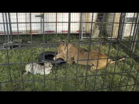 5775a07ff248 Lion