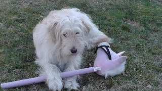 Watch Goldendoodle Dog Take On Hobby Horse. Golden Retriever Poodle Mix Ally. Set58 2015 Rep1