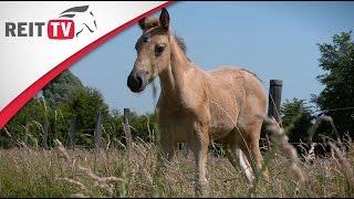 Rasseportrait | Das Tennessee Walking Horse
