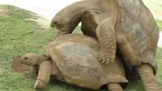 Гигантские черепахи занимаются сексом  Giant Turtles Mating