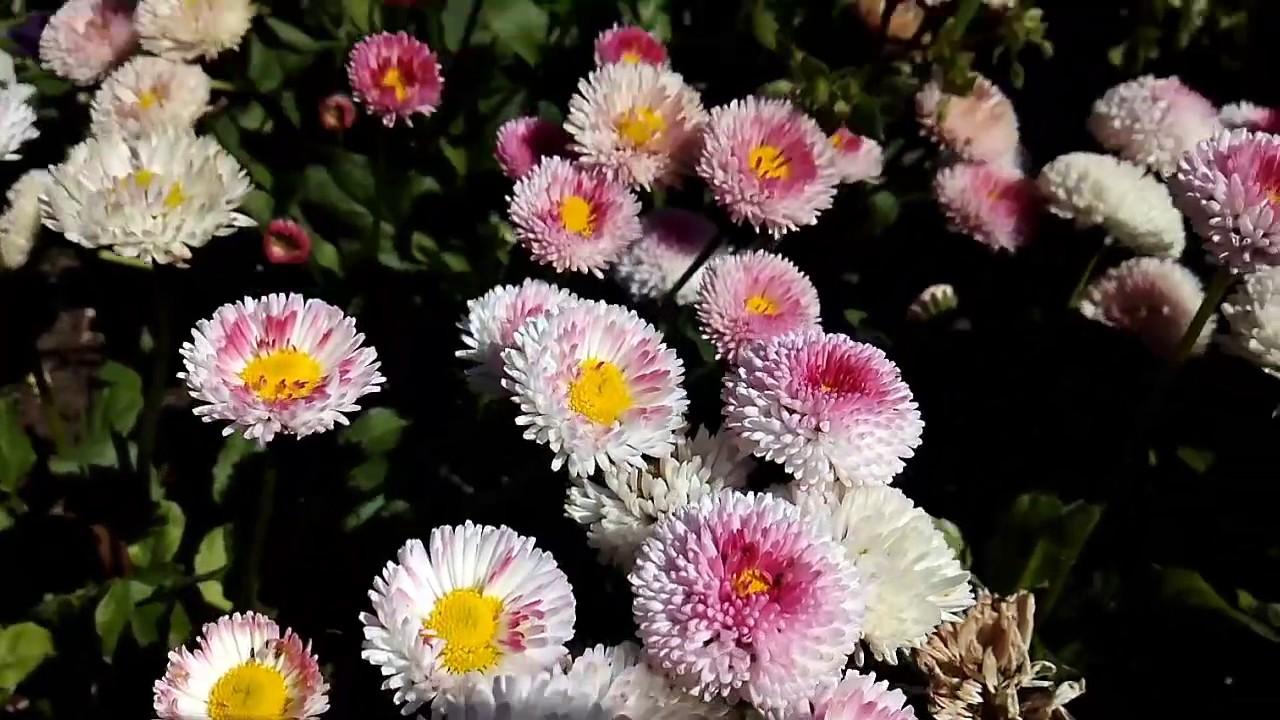 English daisies youtube english daisies izmirmasajfo