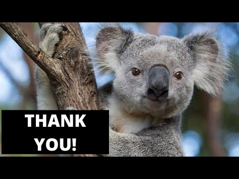 MORNING NEWS - 2 Teenagers in Oz Pack Their Cars FULL of Koalas, to Save Them From Fires!
