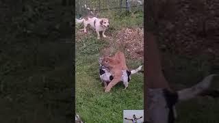 Пума напала на собаку