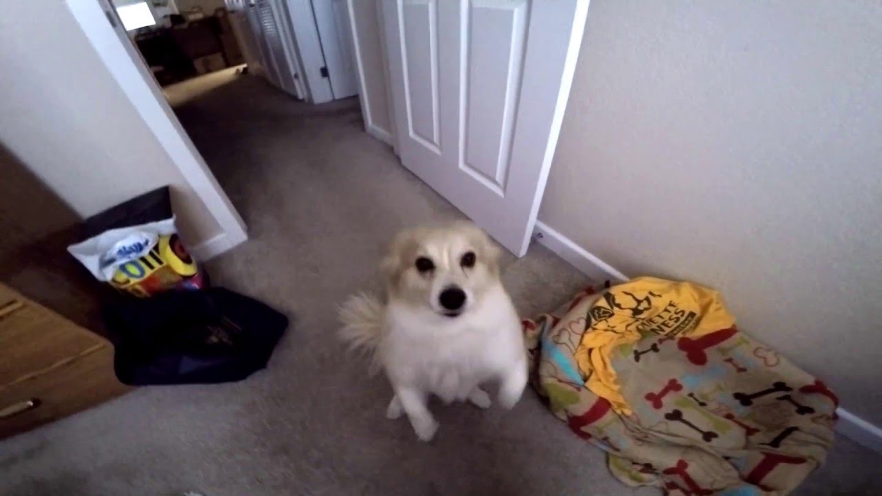 Pomeranian Corgi Mix Dog Cute And Fluffy Youtube