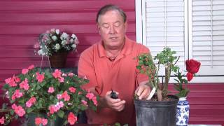 Growing Roses : How to Take Rose Cuttings thumbnail