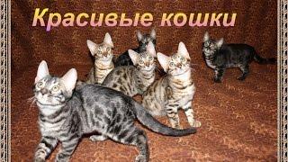 Топ 5. Самые красивые в мире породы кошек