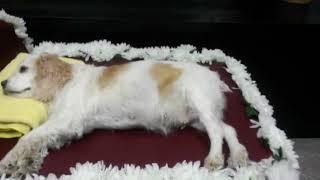 강아지 무지개다리.. 강아지 장례.. 강아지 화장전 마…