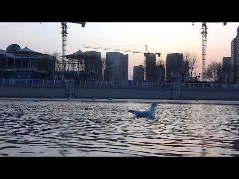 天津海河的海鸥Tianjin Haihe River- Seagull