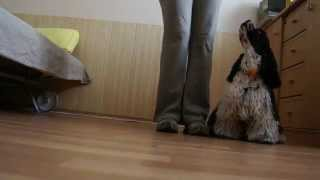 American Cocker Spaniel - Eman Snehulienka - obedience training 25.4.2012