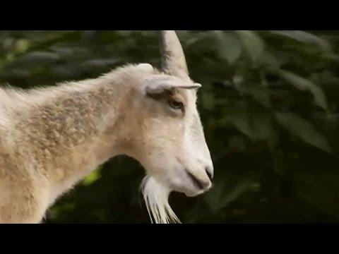 Une chèvre sert de guide à un cheval aveugle - ZAPPING SAUVAGE