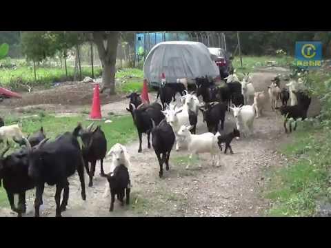 70隻羊的主人 華哥牧羊生活的苦與樂