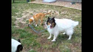 A collection of videos and photos of rescued shelties and collies. ...