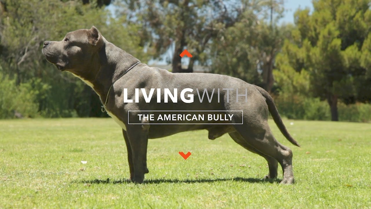American Bully - Temperament & Quick Guide About This
