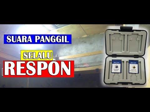 CARA AGAR SUARA PANGGIL WALET CEPAT DI RESPON BURUNG WALET