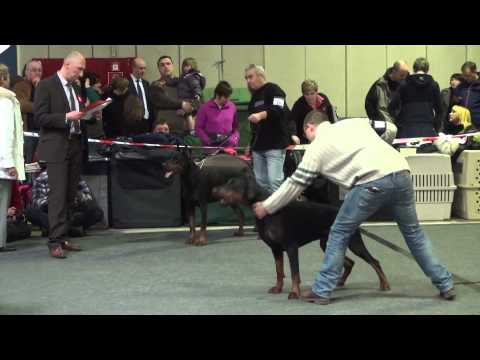 CACIB 86th International Dog Show in Luxembourg - Dobermann males