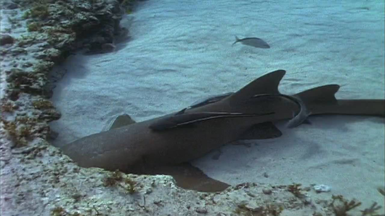 Shark Weekend Nurse Shark Youtube