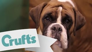#WhyILove Boxers! Send us YOUR videos | Crufts 2015