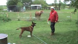 Teach Your Dog To 'sit', 'down', And 'stand'- Belgian Malinois