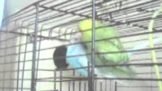 Секс попугаев.mp4
