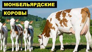 Разведение Монбельярдской породы коров как бизнес идея   КРС   Монбельярдская корова