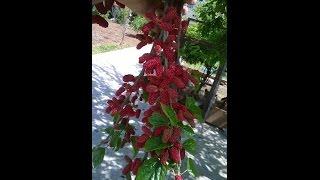 Dut çelik coğaltma/Mulberry plant from cutting