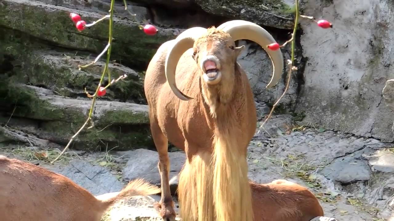 Best Cry Ever (Barbary Goat Remix) - YouTube