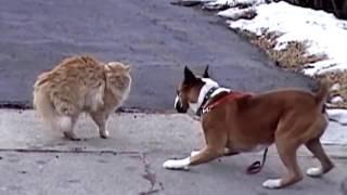 Жесткая драка собаки с кошкой