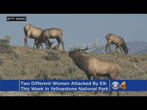 Second Woman Attacked By Elk In Yellowstone National Park