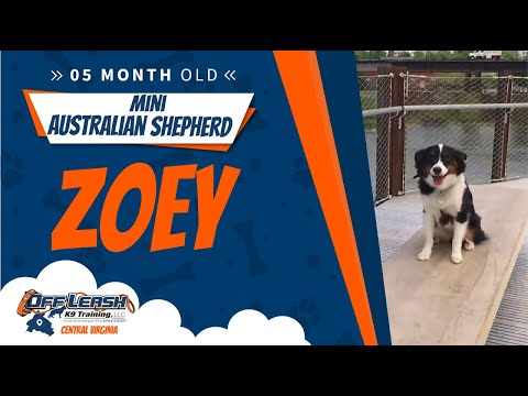 5 mo Mini Australian Shepherd (Zoey)   Offleash K9 Training   Best Virginia Dog trainers