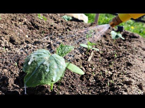 Витаминная зажигалка для роста огурцов! Попшикайте  каплю чтобы собирать зеленцы ведрами!