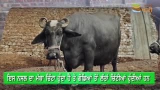 An Introduction to Nili Ravi Buffalo | ਨੀਲੀ ਰਾਵੀ ਮੱਝ ਬਾਰੇ ਆਮ ਜਾਣਕਾਰੀ