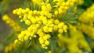 Funweek - vi siete mai chiesti come per la festa delle donne si regala proprio mimosa e non un altro fiore? ecco svelato il motivohttp://www.funweek.i...