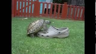 turtle humping shoe