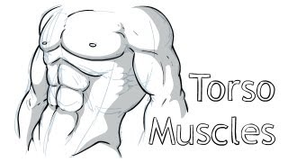 How to draw Torso Anatomy
