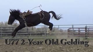 John Benson Bucking Horses BLS Nov 25th